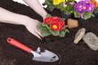 Gartenarbeit - Primeln einpflanzen