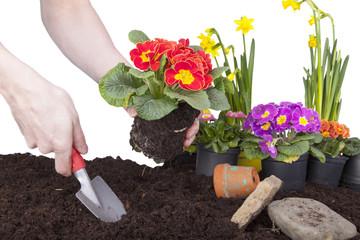 Mann bei der Gartenarbeit - Primeln einpflanzen