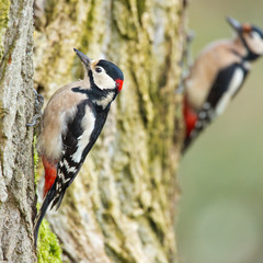 Double Great spotted woodpecker