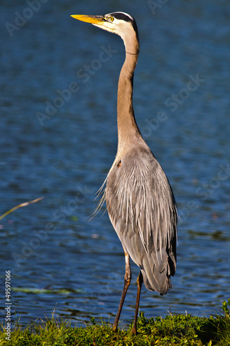 Large Blue Heron at Sunset