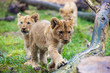 Lion cubs walking