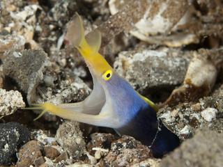 Coral fish Ribbon eel