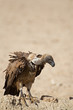 White-Backed vulture; Gyps africanus