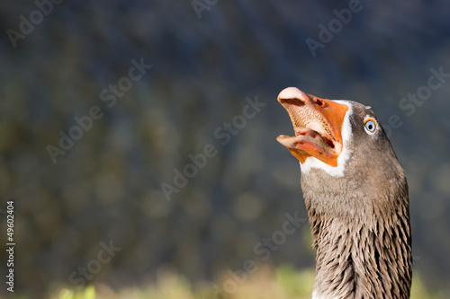 Goose isolated close up portrait