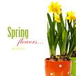 Pots of daffodils