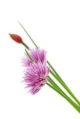 Schnittlauch mit  Blüte auf weißem Hintergrund