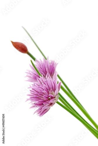 canvas print picture Schnittlauch mit  Blüte auf weißem Hintergrund