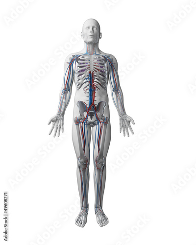 3d rendered illustration - vascular system