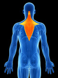 3d rendered illustration - trapezius