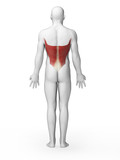 3d rendered illustration - latissimus