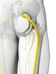 3d rendered illustration - sciatic nerve