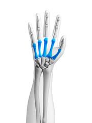3d rendered illustration - bones of the hand