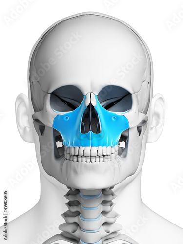3d rendered illustration - maxilla bone