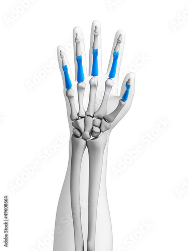3d rendered illustration - bones of the hand