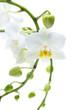 Viele offene und geschlossene Blüten einer Orchidee