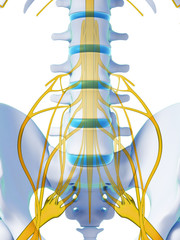 3d rendered illustration - spinal cord