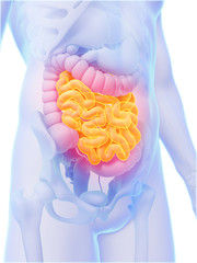 3d rendered illustration - small intestine
