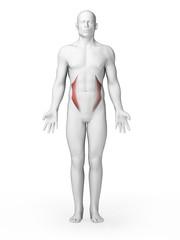 3d rendered illustration - internal oblique muscles