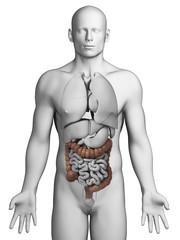 3d rendered illustration - colon
