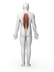 3d rendered illustration - back muscles