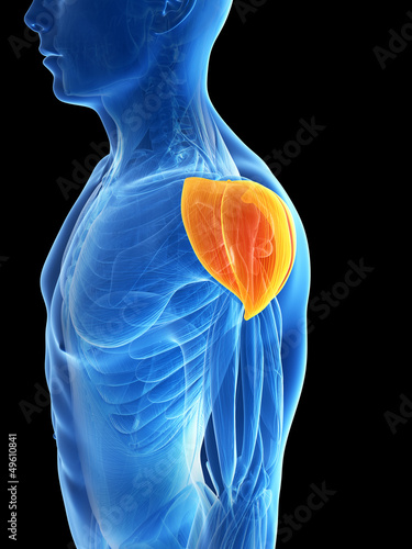 3d rendered illustration - shoulder muscle