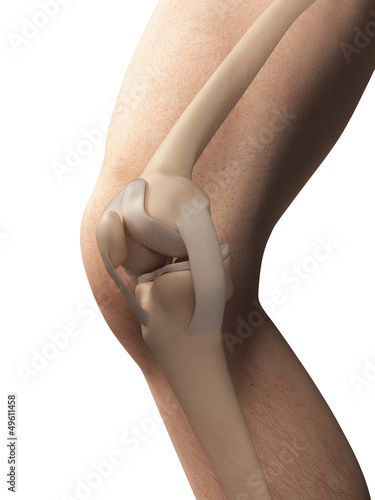 3d rendered illustration - anatomy of the knee