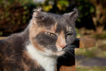 Feline aural haematoma.