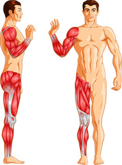 Vector illustration of Human arm and leg muscles.