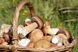 Basket with boletus edulis on grass