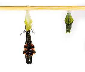 Common mormon butterfy and pupa