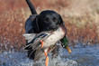 Black Lab with Mallard - 49623432