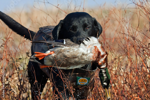 Fotobehang Jacht Black Lab with Mallard