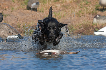 Black Lab Retrieving a Drake Gadwall