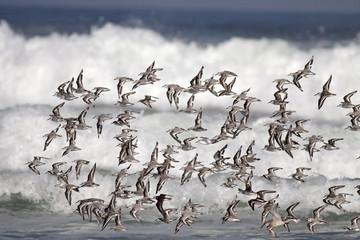 Little shorebirds in flight