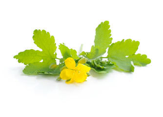 Celandine flower (Chelidonium mahus) isolated on white backgroun