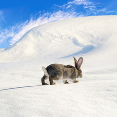 Grey rabbit walking on the snow-bound hill