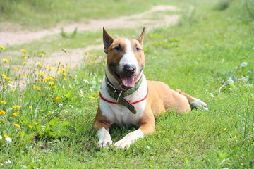 Friendly english bull terrier resting on the ground