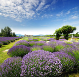 Fototapety The Lavender Valley of Oregon