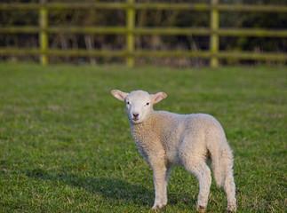 apring lamb