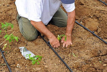 Agricultor plantando tomates