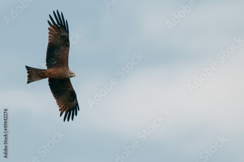 A kite eagle flying in the light blue sky background