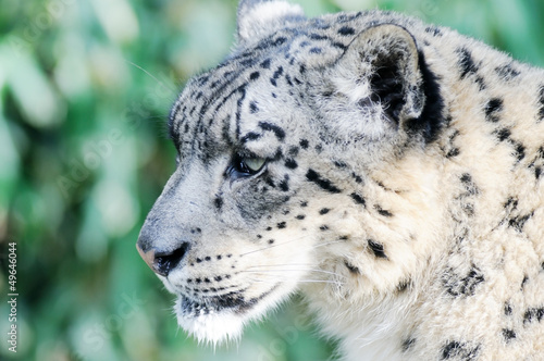 Fotobehang Luipaard Snow leopard