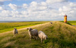 Leinwanddruck Bild - Schafe am Pilsumer Leuchtturm - Nordsee