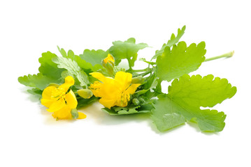 Celandine flowers (Chelidonium mahus) isolated on white