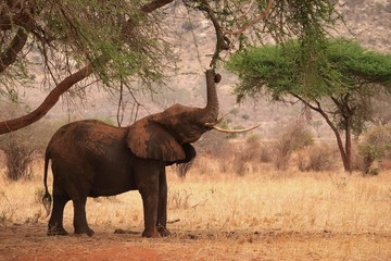 Elephant in african savannah