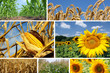 Corn, Wheat and Sunflower Collage
