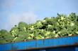 Agricultura intensiva - Brocoli