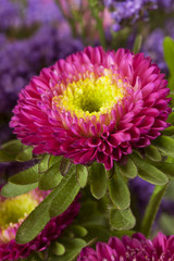 Spring aster. floral background closeup