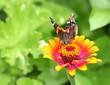 Vanessa Atalanta Butterfly on Orange and Pink Zinnia Flower