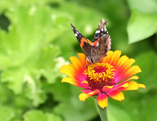 Vanessa Atalanta Butterfly on Orange and Pink Zinnia Flower